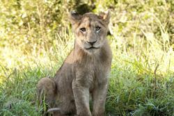 med-safarilion-050623a